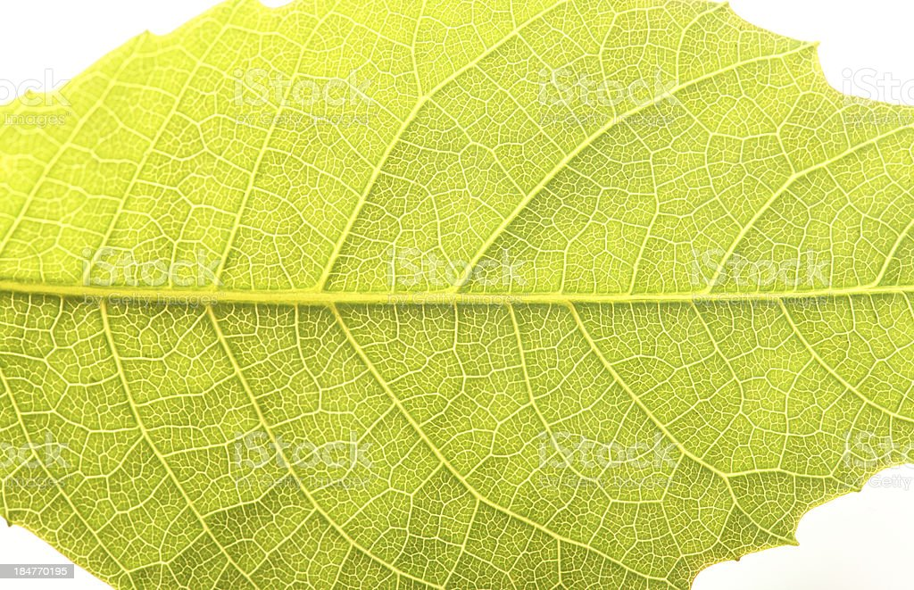 Close up the walnut leaf texture royalty-free stock photo