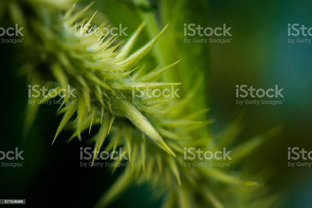 Close up -Thorns of a dog rose stock photo