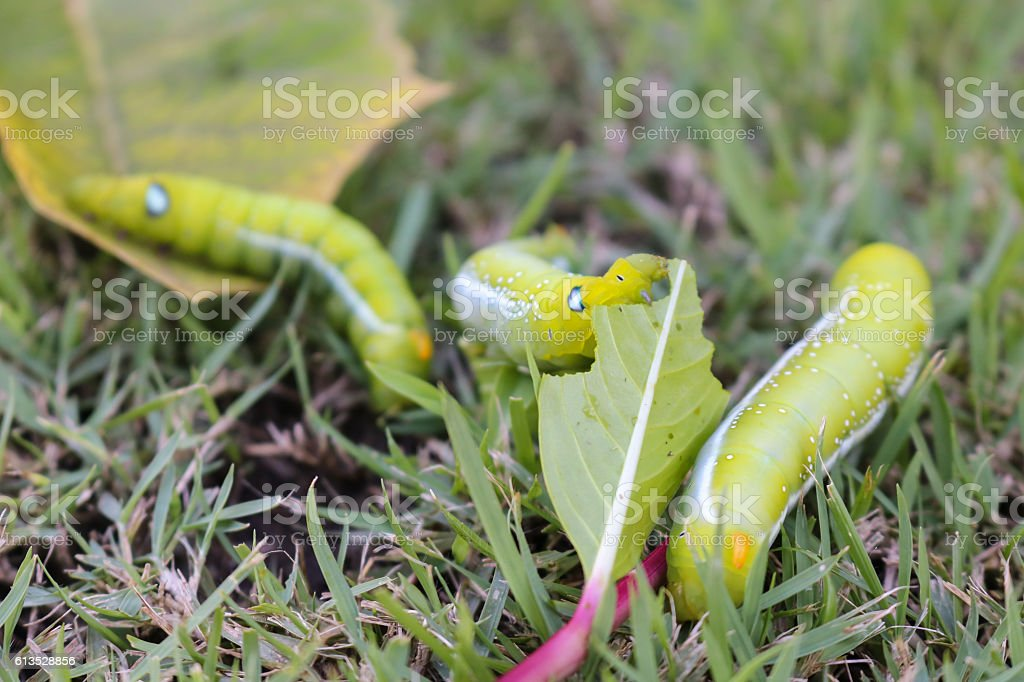 Close up three big green worm eating leaf on grass. stock photo