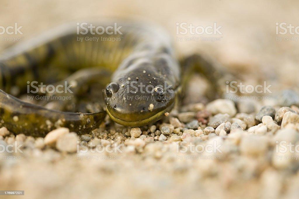 Close up Tiger Salamander stock photo