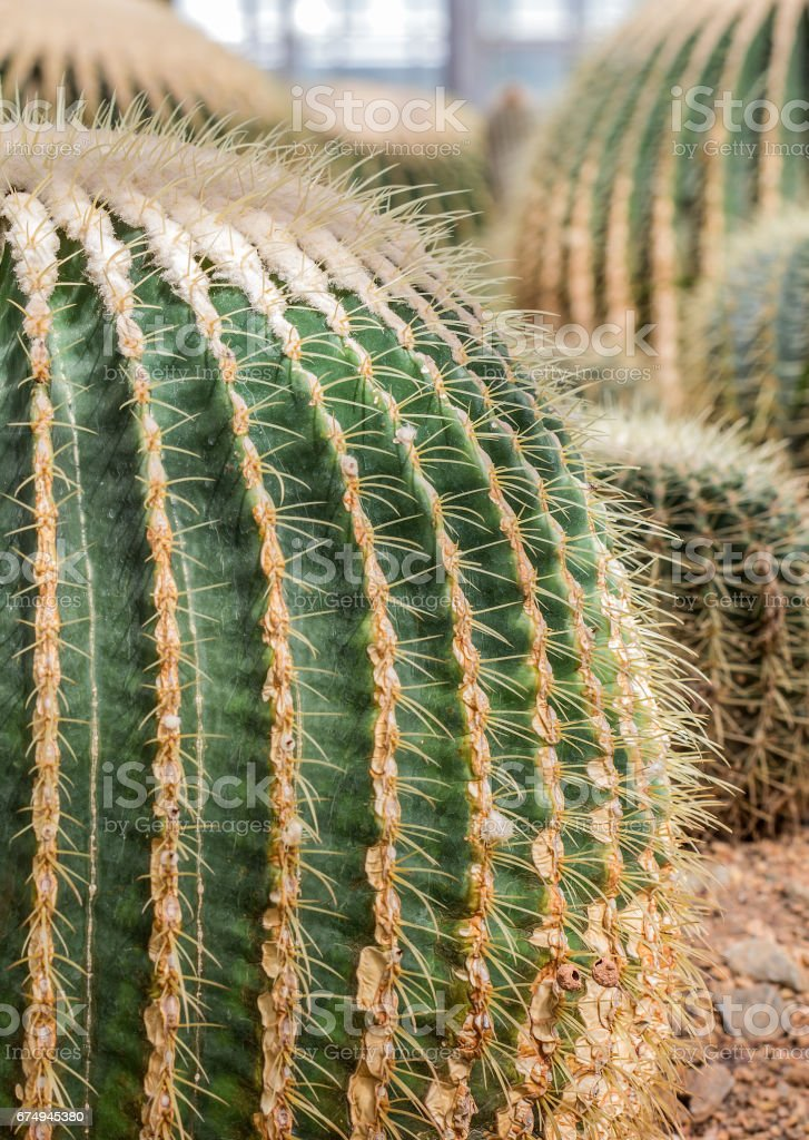 Close up  top view large Golden Barrel Cactus (Echinocactus Grusonii) with long thorns as the  golden barrel cactus ball, world large ball cactus stock photo