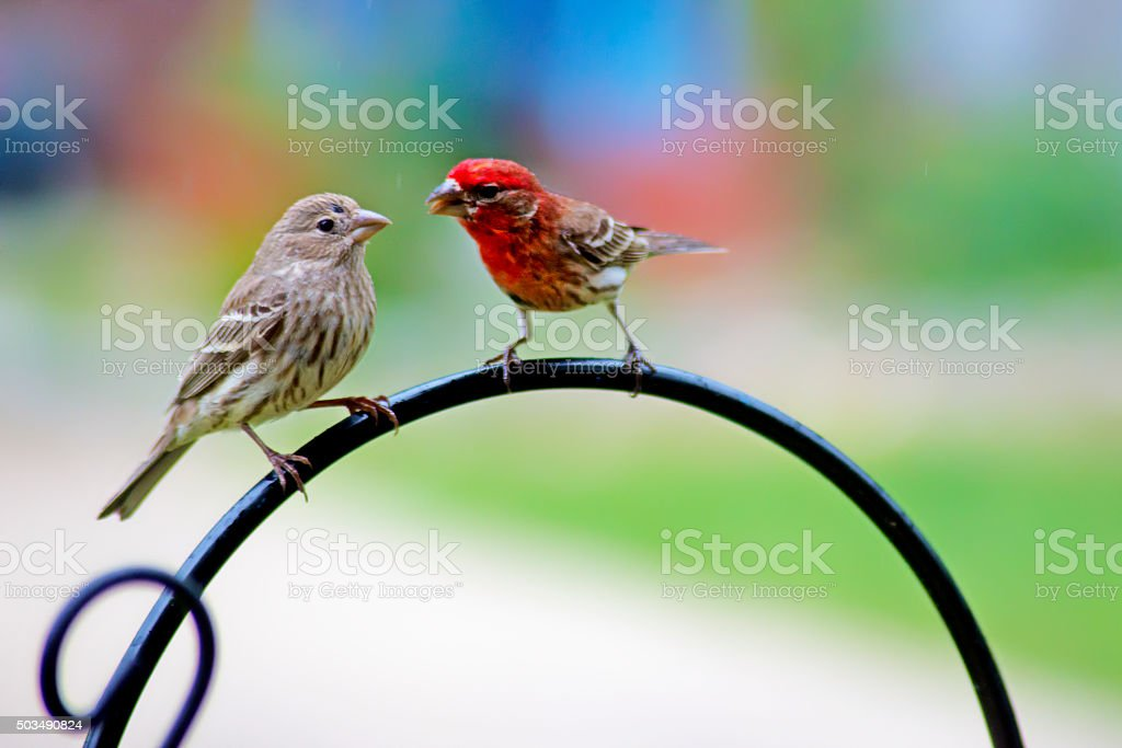 Close up Two Purple Fitch Birds talking to each other. stock photo