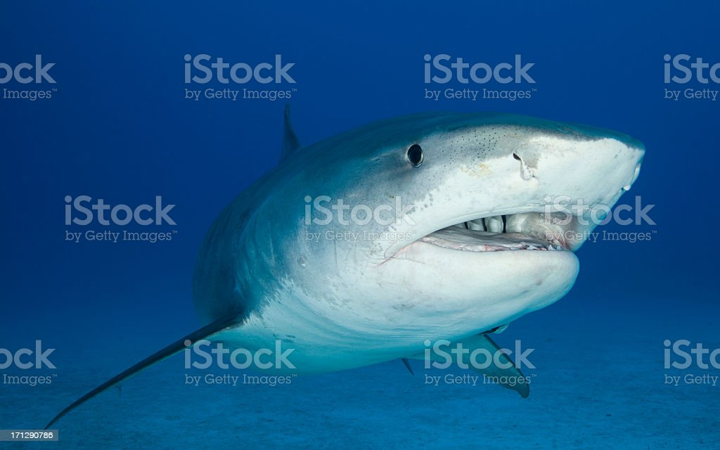 Close up underwater image of a tiger shark stock photo