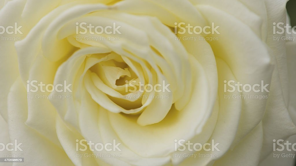 Close up view of a beautiful white rose. stock photo