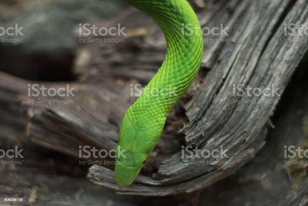 Close up view of a dangerous green mamba snake stock photo