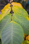 Close up view of autumn walnut tree leaf