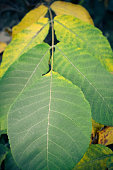 Close up view of autumn walnut tree leaf