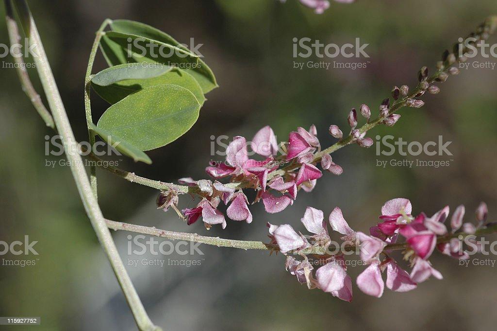 Close up view of indigo suffruticosa royalty-free stock photo