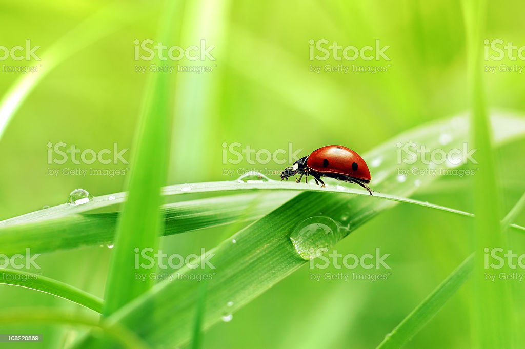 Close up view of ladybug on blade of grass  stock photo