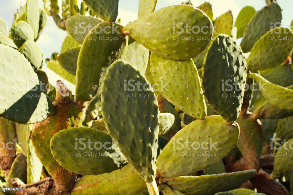 Close up view of Opuntia ficus-indica (Barbary fig) which is a type of cactus. It is a species of cactus that has long been a domesticated crop plant important in agricultural economies. stock photo