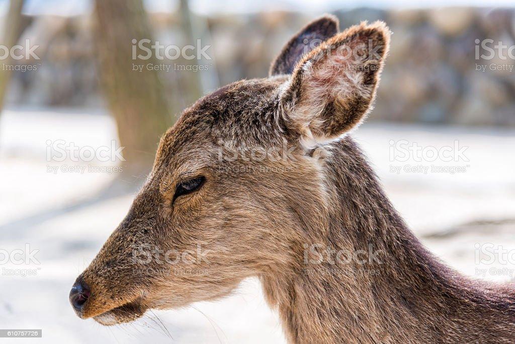 Close up view of sacred deer in Miyajima island, Japan stock photo