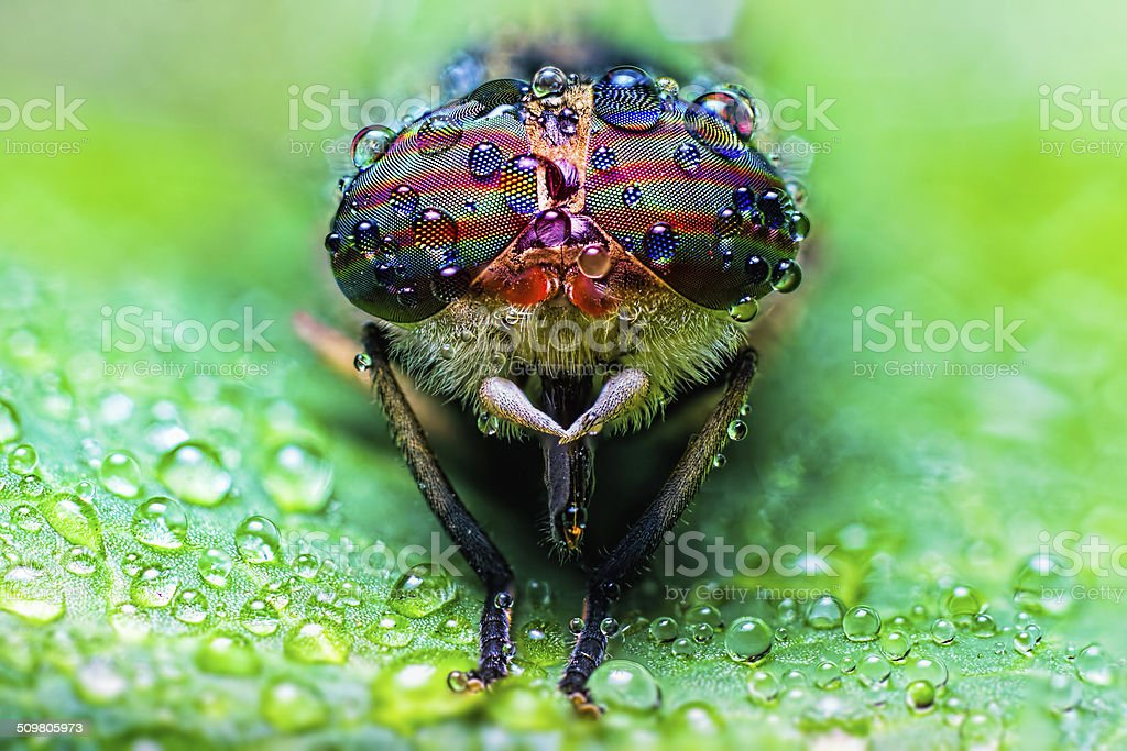 Close up view of the eyes a horsefly stock photo