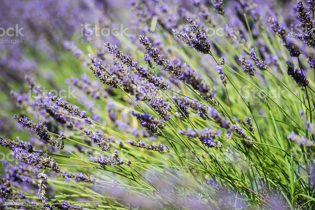 Close up view of the fresh violet lavender blossoms stock photo