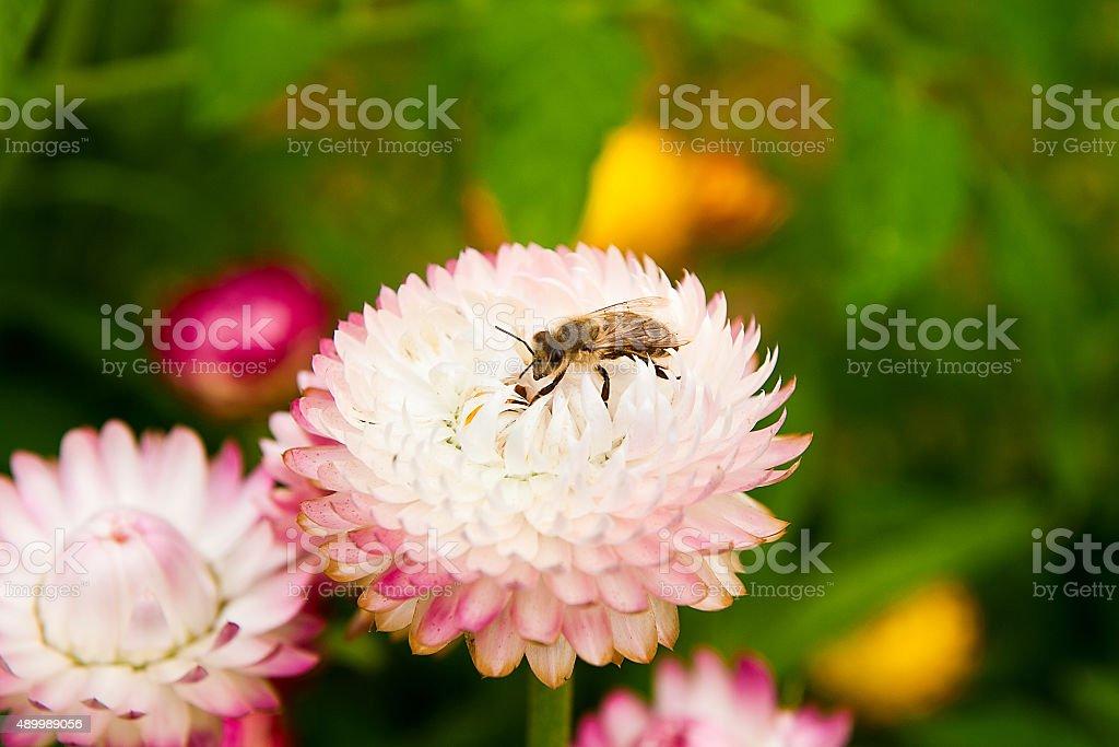Close up view of the trabajo abeja en flor rosa foto de stock libre de derechos