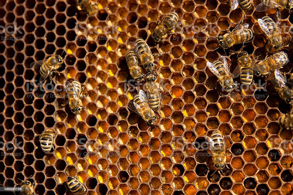 Close up view of bees trabajo y recolectados de polen foto de stock libre de derechos