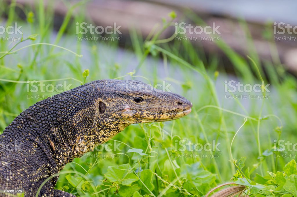 close up Water monitor lizard stock photo
