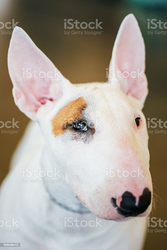 Close Up White Bullterrier Dog stock photo