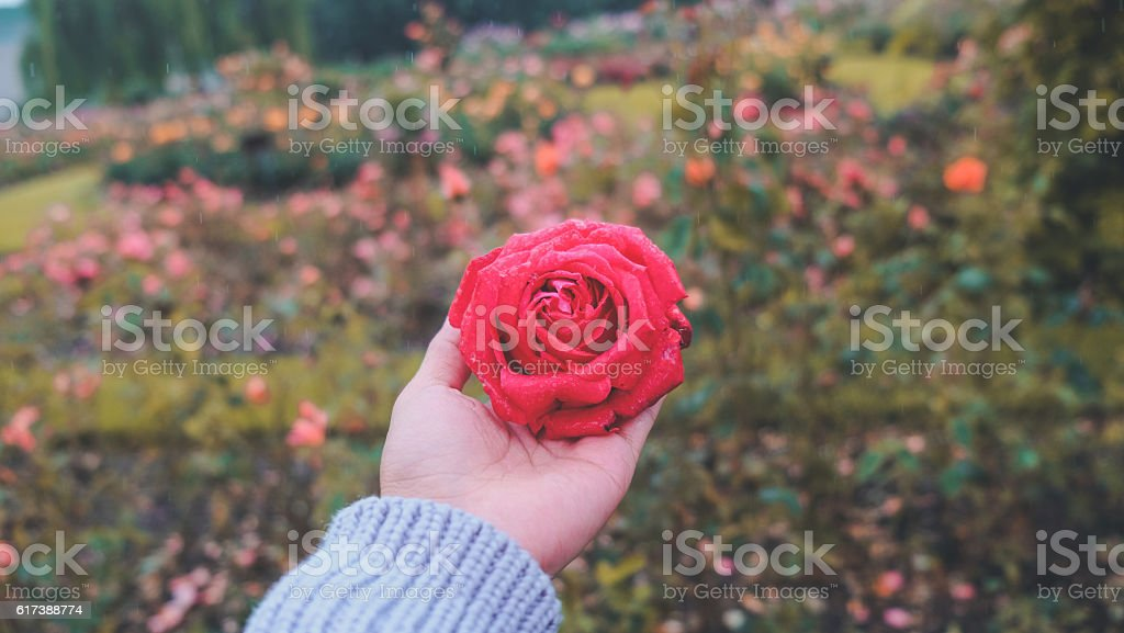Close up woman hands holding red rose flower stock photo