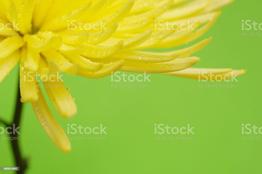 close up yellow star dahlia flower stock photo