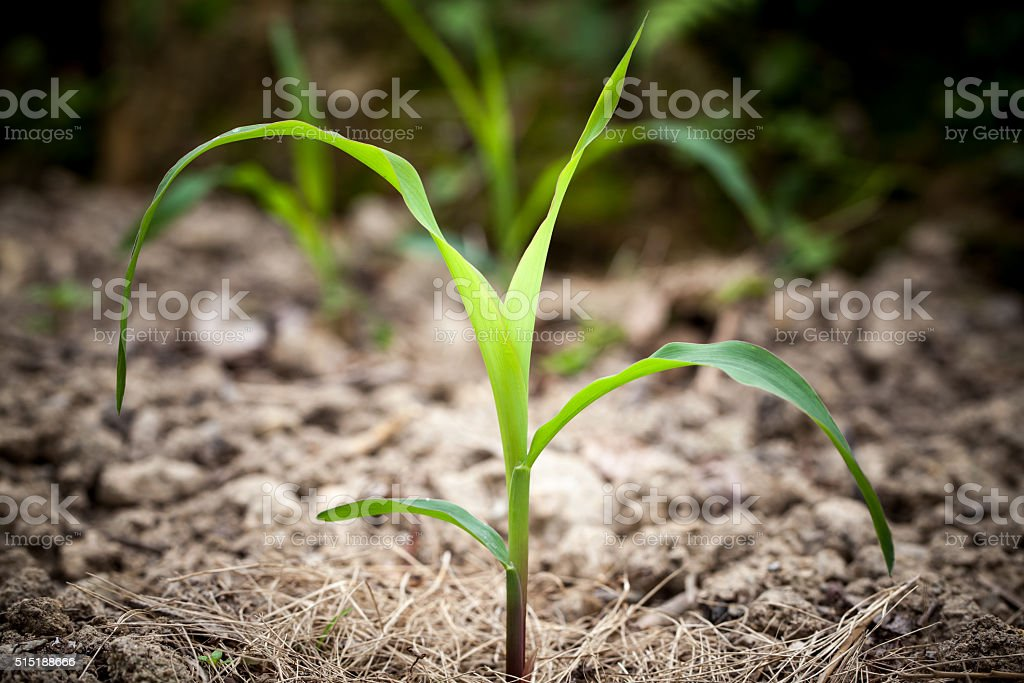 Close up Young  maize plant growing stock photo