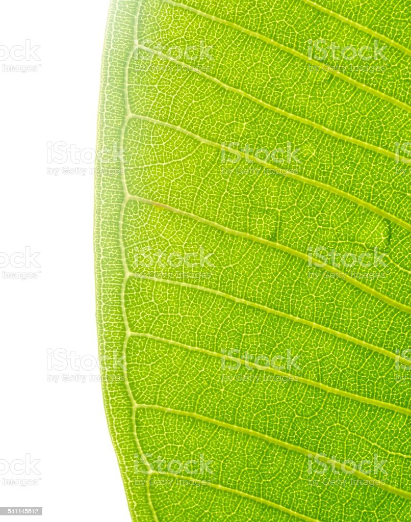 Close up:Green leaf in geometric form stock photo