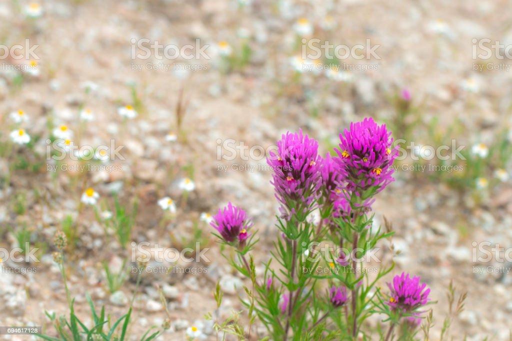 Close upof purple owl's clover wildflower. stock photo