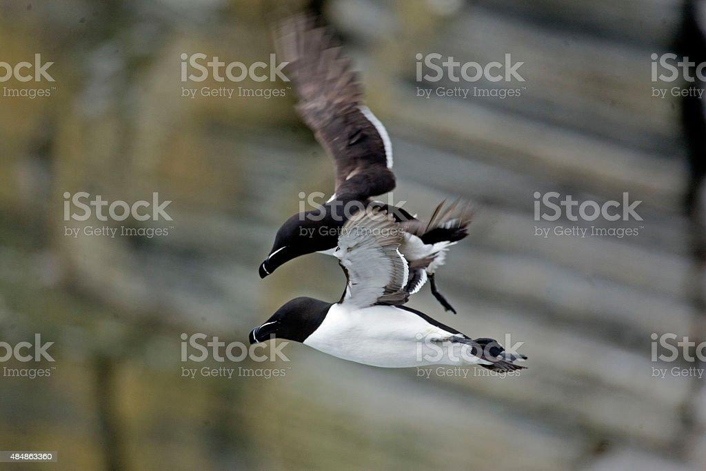 Close view of a Razorbill in flight near cliffs stock photo