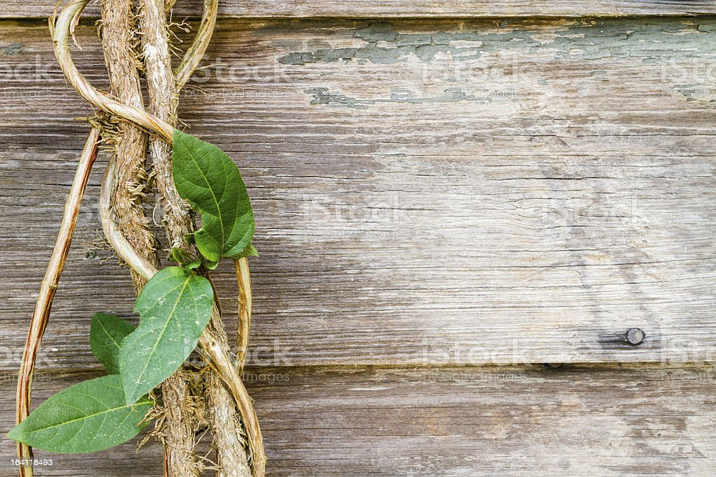 Close view of a vine against rustic wood boards. royalty-free stock photo