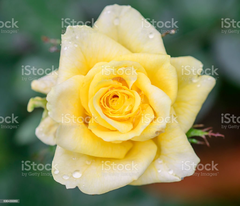 Close view of an yellow  rose blossom stock photo