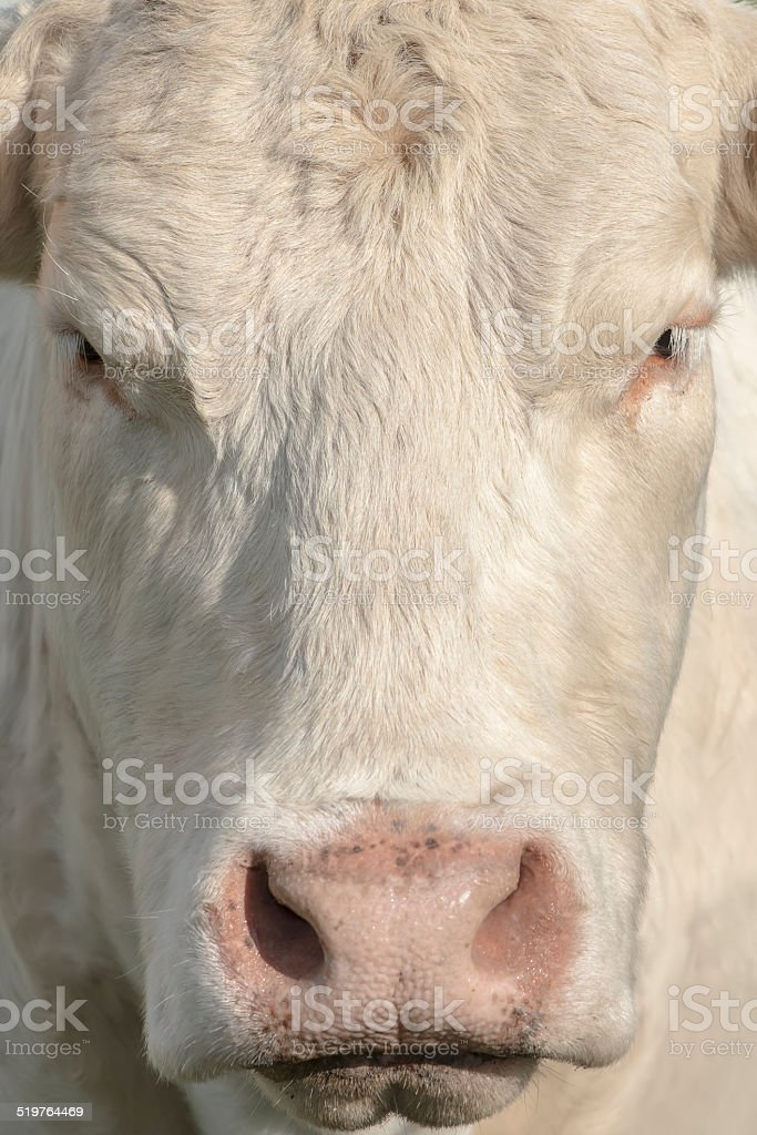 close view of cow's face royalty-free stock photo