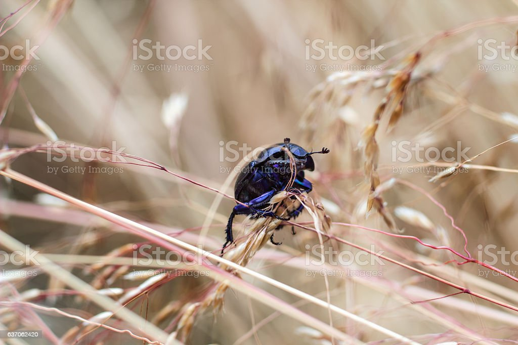 Close view of insect dung beetle stock photo
