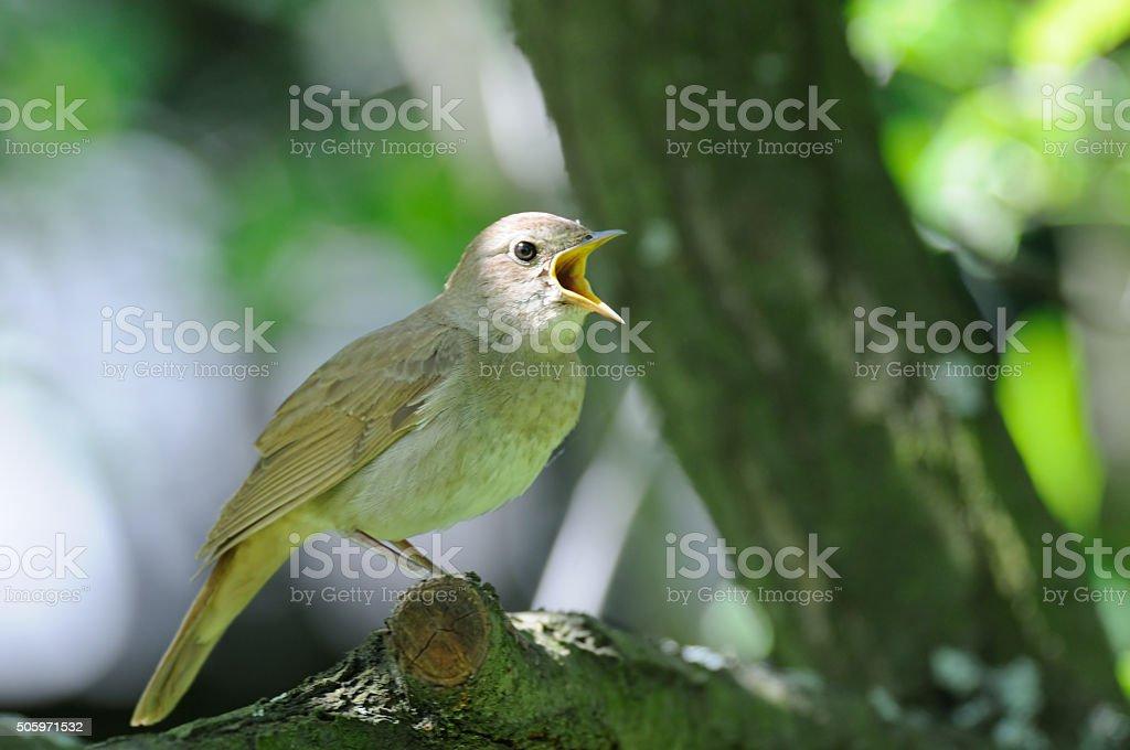 Close view of singing nightingale stock photo