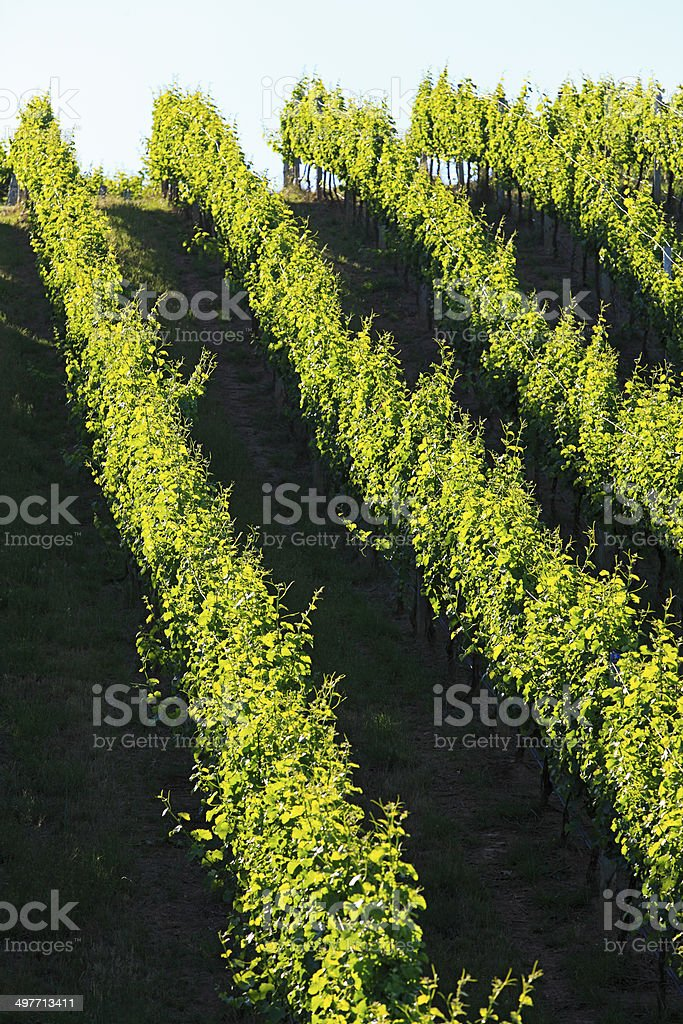 Close view, rolling green vineyard in afternoon summer sun stock photo