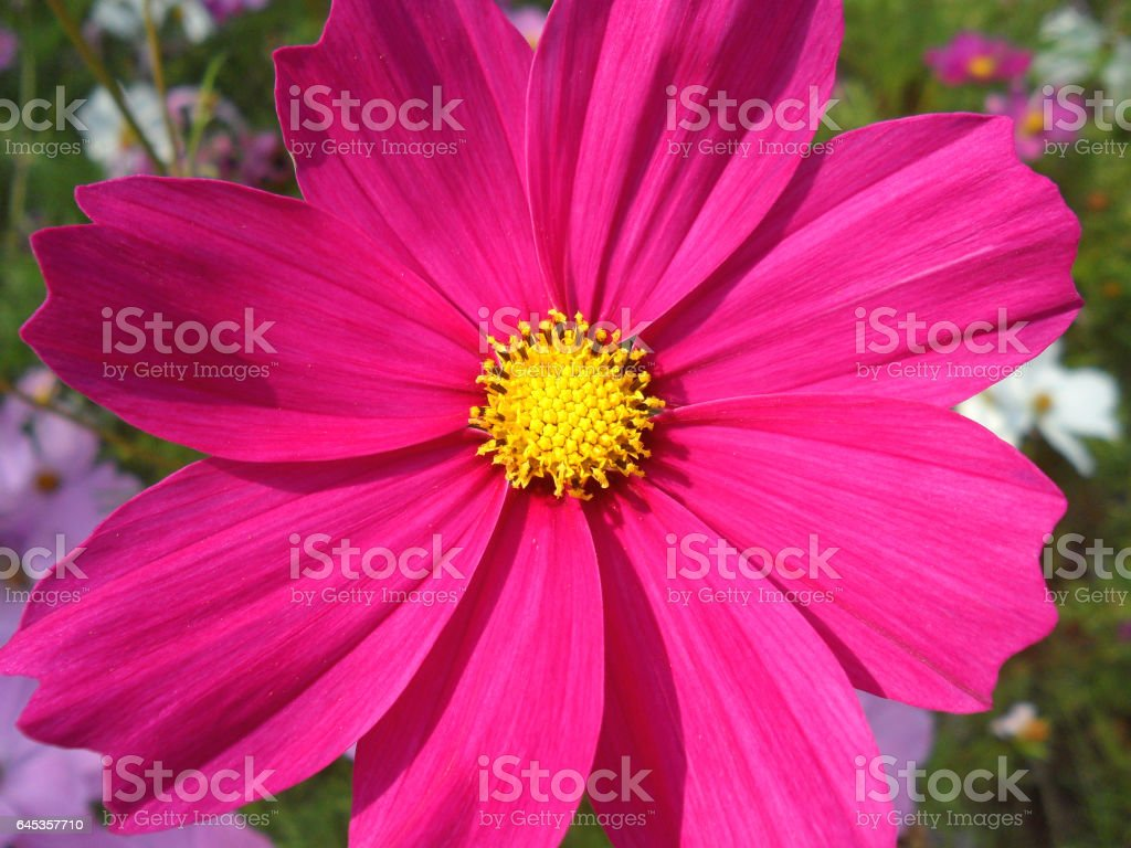 Closed up blooming vivid pink Cosmos flowers in the sunlight stock photo
