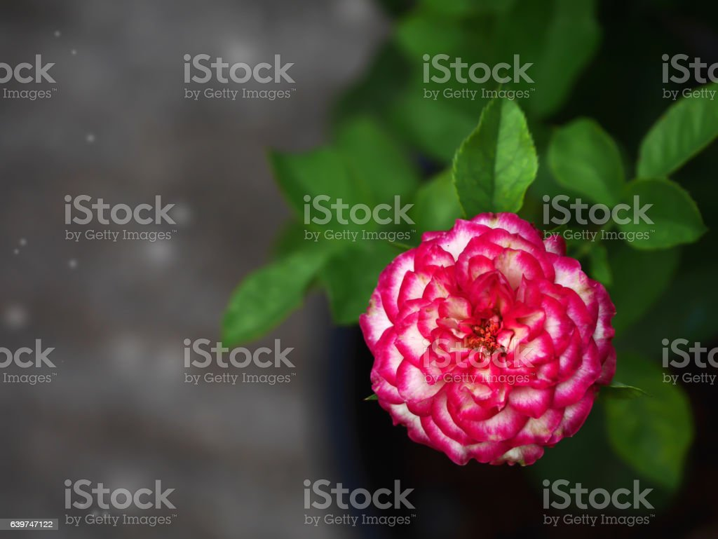 Closed up of blooming Imp rose stock photo