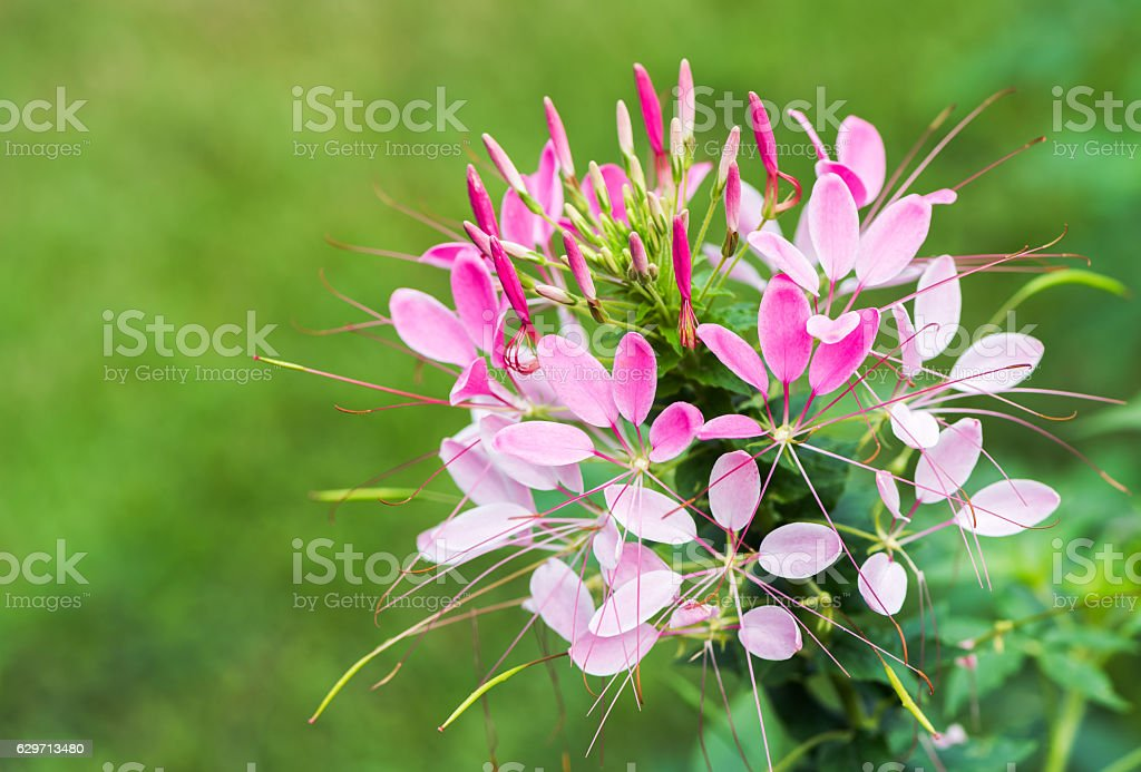 closed up of Cleome spinosa or Spider flower stock photo
