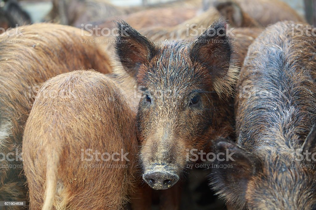 CLosed up picture of giant forest hog or wild pig royalty-free stock photo