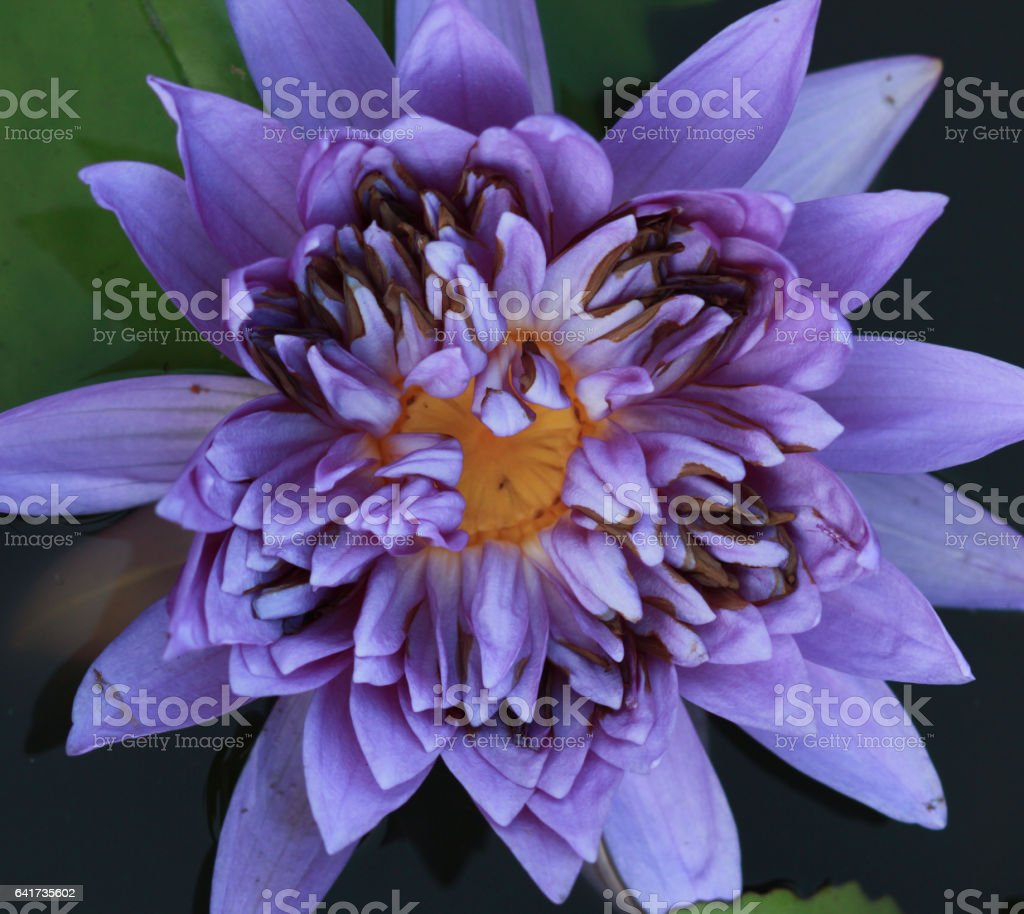 Closed up purple lotus openend on water stock photo