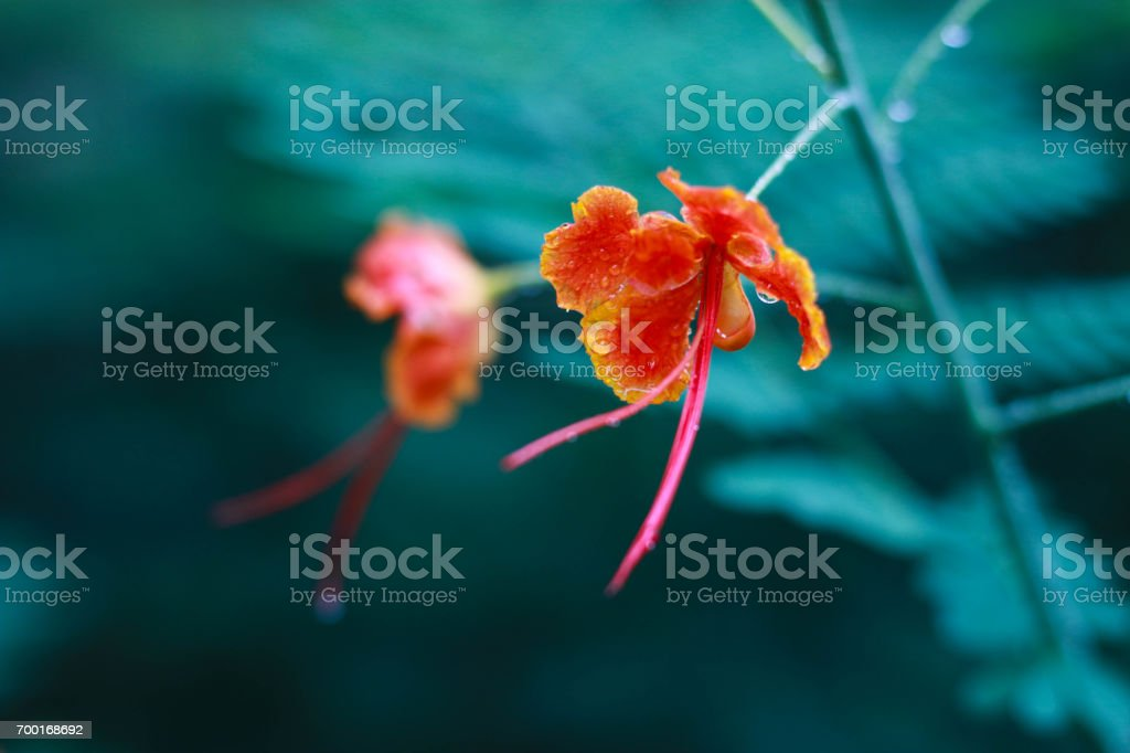 Closed up red  flowers with green background stock photo