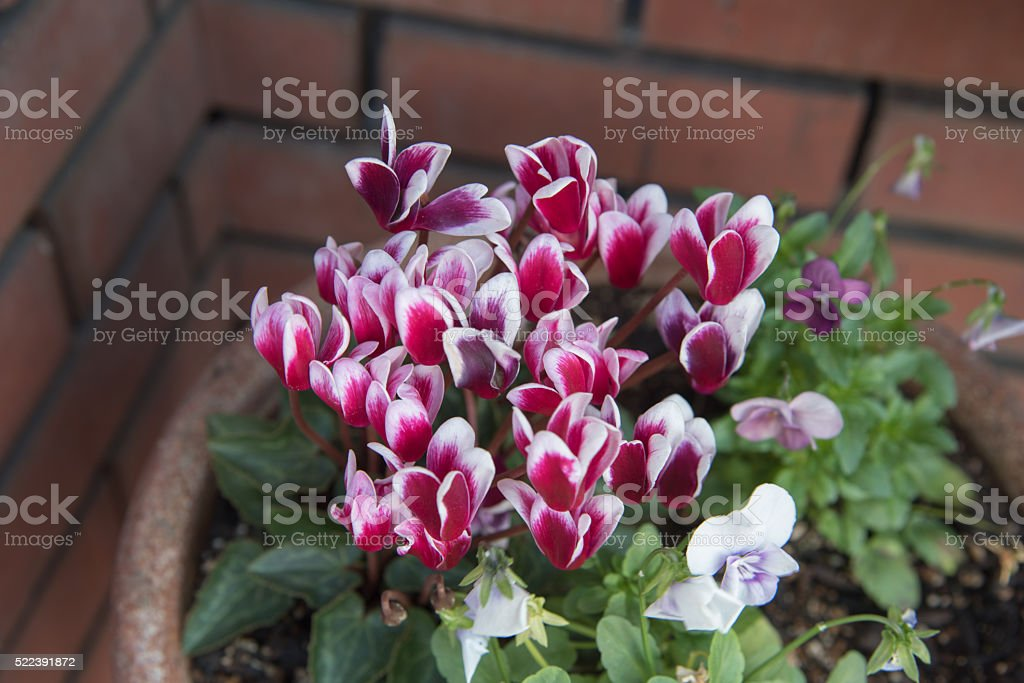 closed up the cyclamen persicum in a pot stock photo