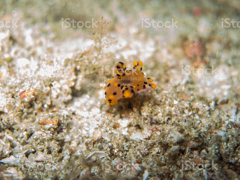closed up the nudibranch in Myanmar divesite stock photo