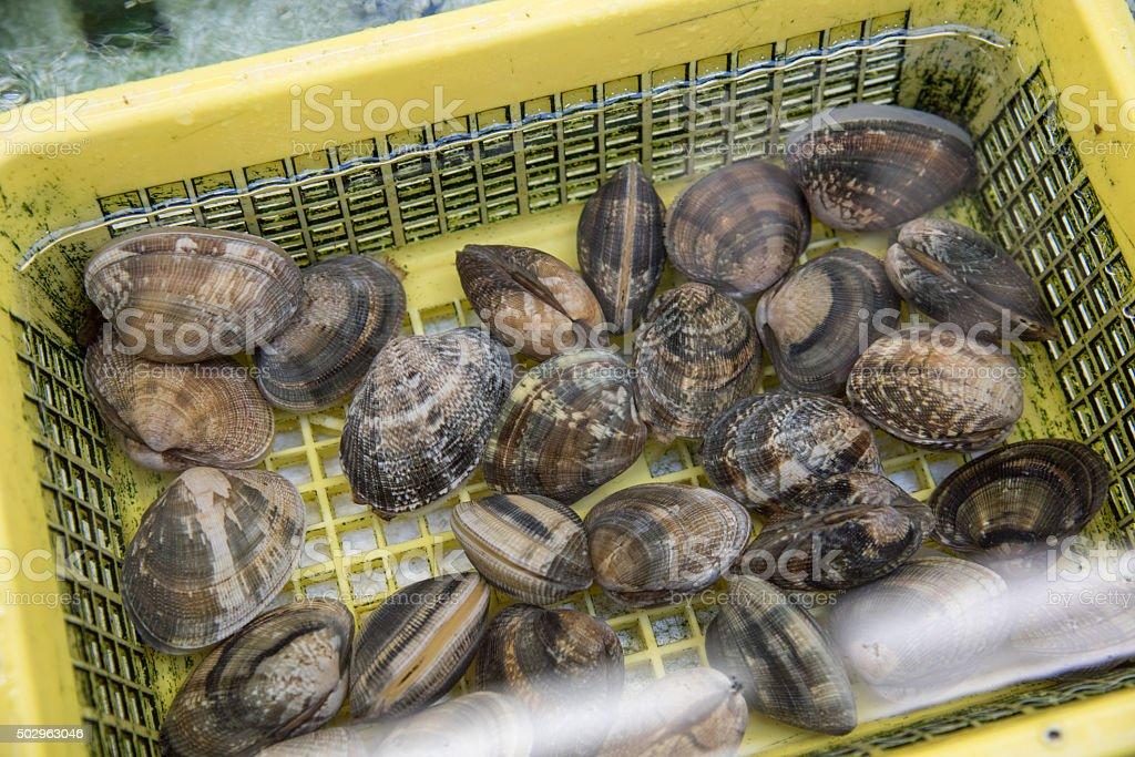 closed up the quahog in fish market, Japan stock photo