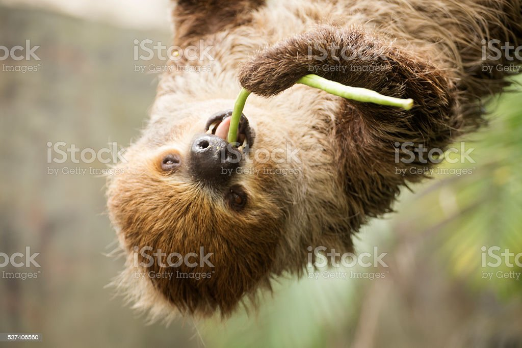 Closed up two-toed sloth eating lentils stock photo