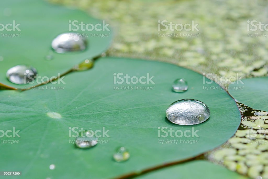closed up water drop on green lotus  leaf stock photo