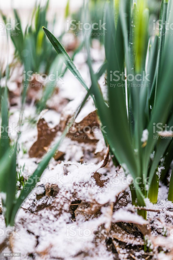 Closed yellow daffodil plants in winter snow stock photo