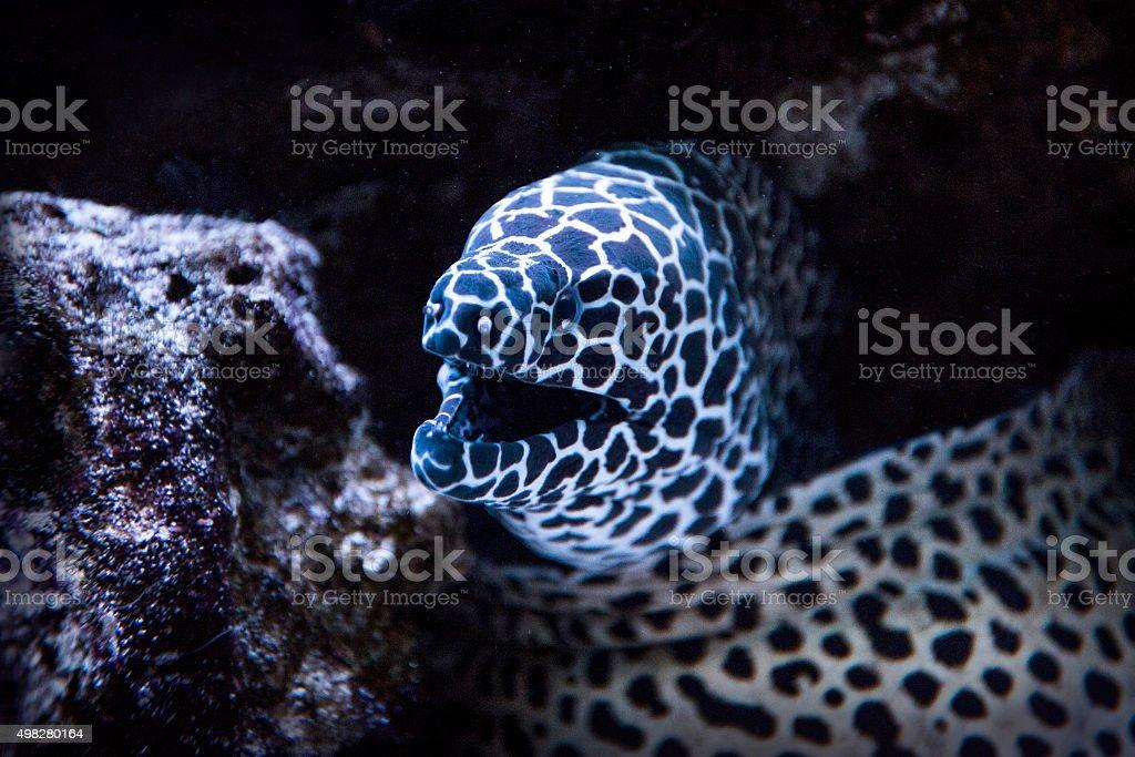 Closely Leopard moray stock photo