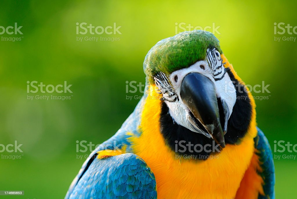 Close-uo of a Macaw parrot in the wilderness stock photo