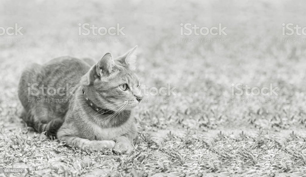 Closeup a gray cat lied on grass field in the garden textured background in black and white tone with copy space stock photo