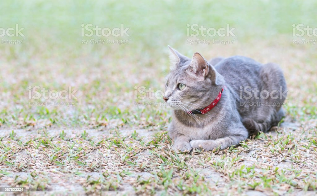Closeup a gray cat lied on grass field in the garden textured background with copy space stock photo