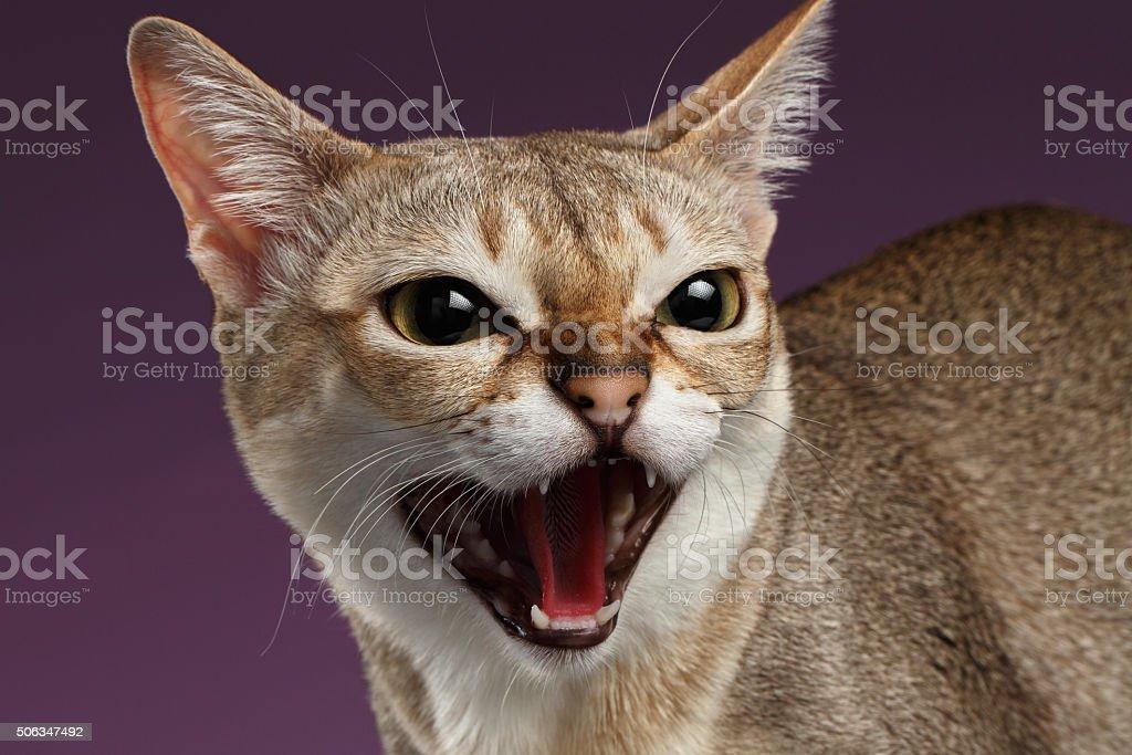 Closeup Aggressive Singapura Cat Hisses on purple stock photo